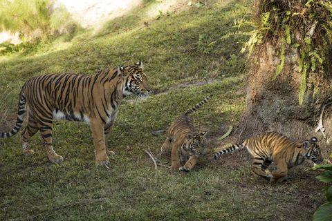 tiger-cubs4.jpg