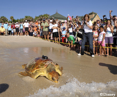 Loggerhead Turtle Release At Disney S Vero Beach