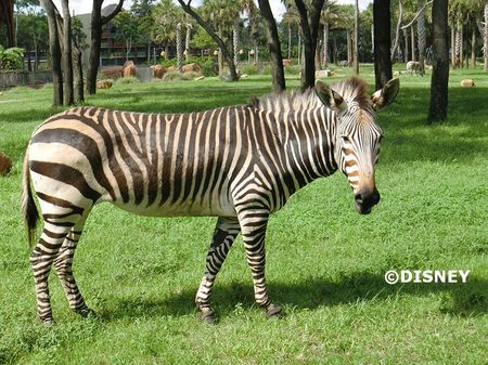 zebra3.jpg