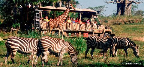 Image of: Orlando Edited20safari20with20zebrajpg Kilimanjaro Safaris Allears Changes On Kilimanjaro Safaris At Disneys Animal Kingdom Take Place