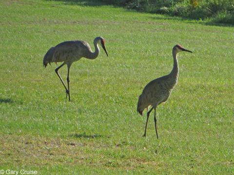 Florida Sand Cranes