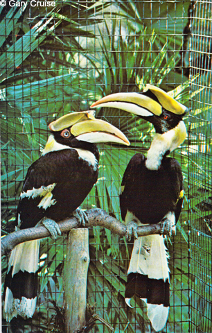 Great Hornbill postcard