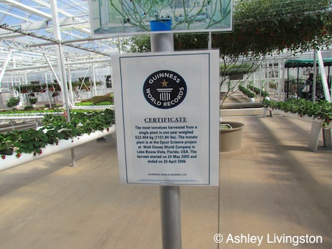 Record holding tomato plant