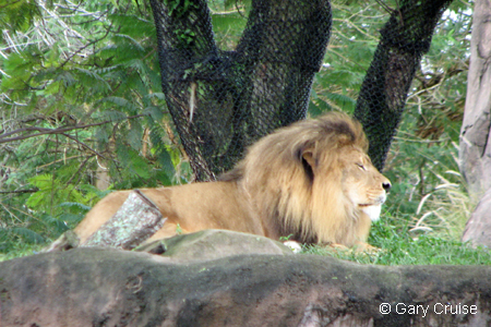 Lion at Coppies