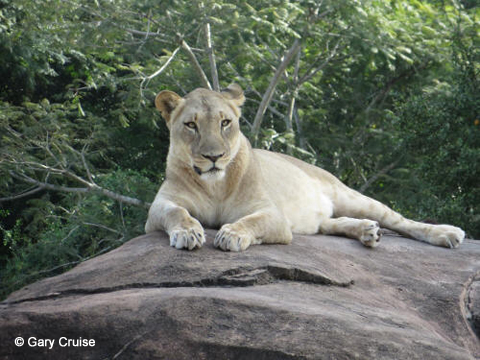 Lioness on kopje rock