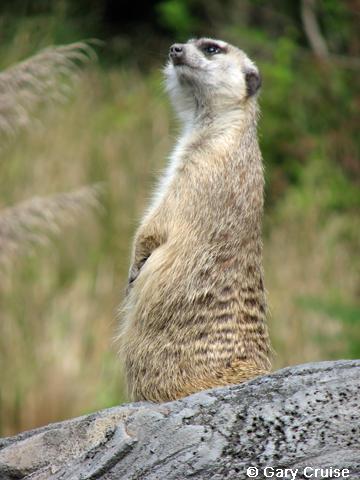 Meercat
