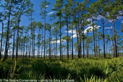 Pine_flatwoods