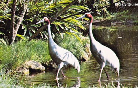 Sarus Cranes postcard
