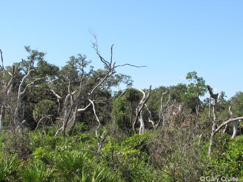 Snag oaks