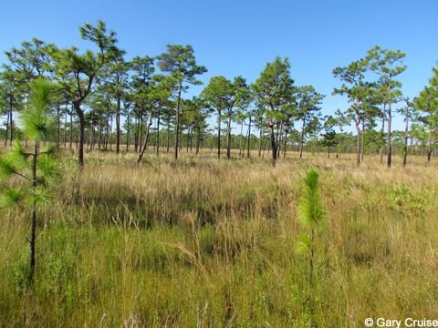 Young longleaf pines