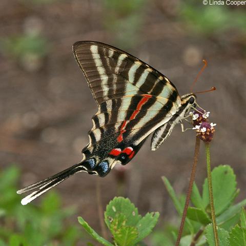 Zebra_Swallowtail