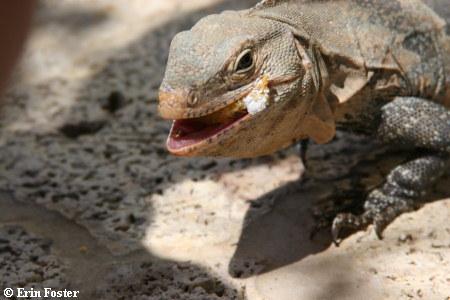 Iguana with cake