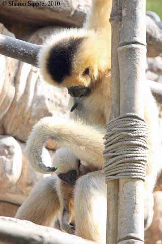 White-cheeked Gibbon