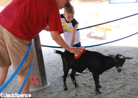 Brushing a Goat