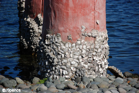 Barnacles on Torii Gate