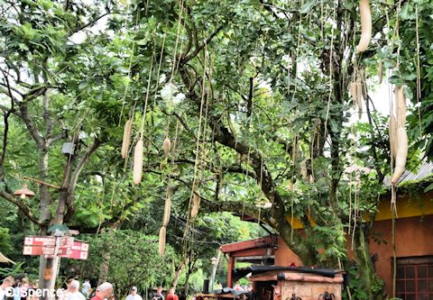Kigelia (or sausage) tree