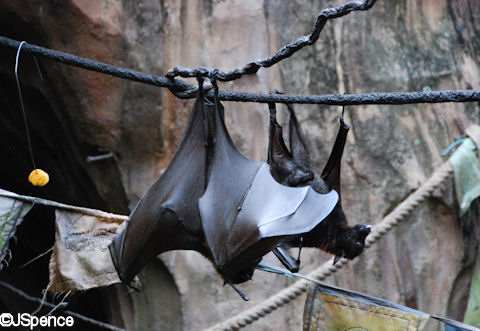 Giant Flying Fox