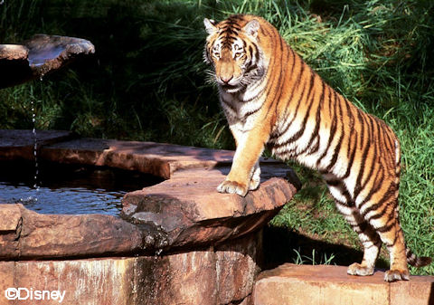 Tiger at Fountain