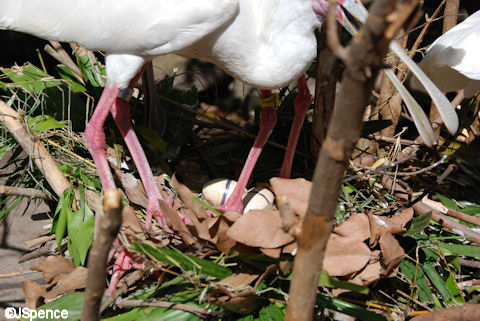 African Spoonbill with Eggs