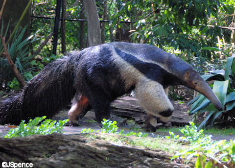 Southern Giant Anteater