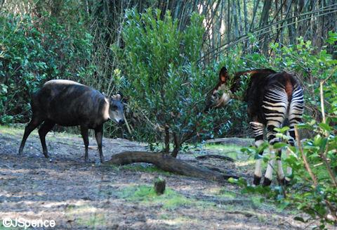 Duiker and Okapi