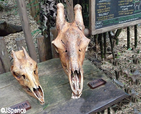 Okapi and Giraffe Skulls