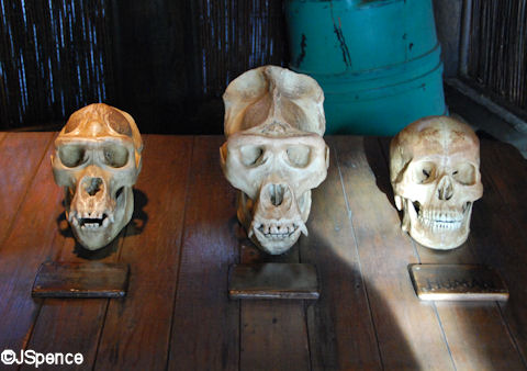 Gorilla and Human Skulls