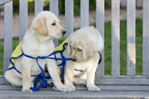 canine-companions-for-independence-puppies.jpg