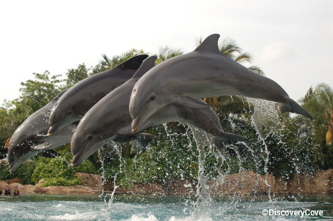 discovery-cove-dolphins-jumping.jpg