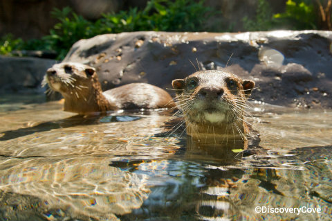 discovery-cove-otters.jpg