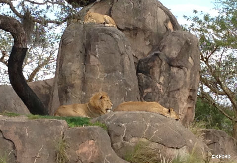disney-animal-kingdom-lions.jpg