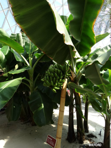 disney-epcot-behind-the-seeds-tour-banana-tree.jpg