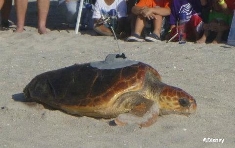 disney-vero-beach-tour-de-turtles-2014-anna.jpg