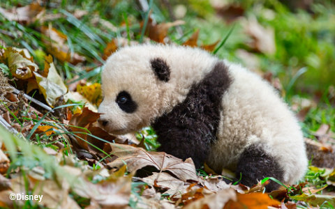 disneynature-born-in-china-baby-panda-mei-mei.jpg