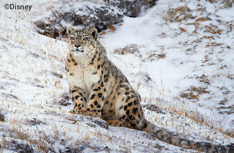 disneynature-born-in-china-snow-leopard.jpg