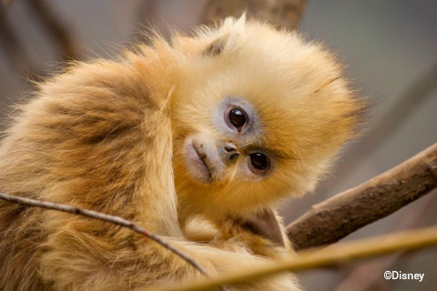 disneynature-born-in-china-tao-tao-golden-snub-nosed-monkey.jpg