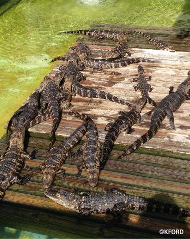 gatorland-gators-sunning.jpg