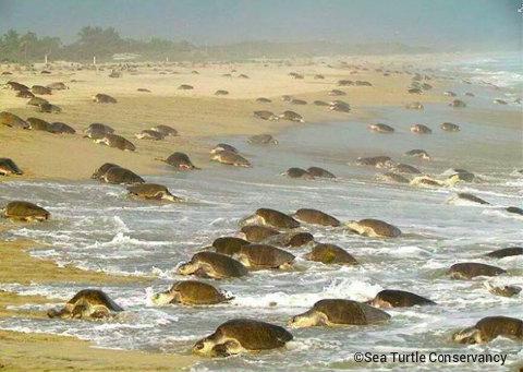 Sea Turtle Conservancy Coming As Jpg
