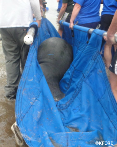 seaworld-manatee-release-one-on-stretcher.jpg