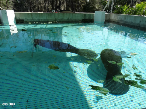 seaworld-orlando-manatee-rehabilitation-pool.jpg