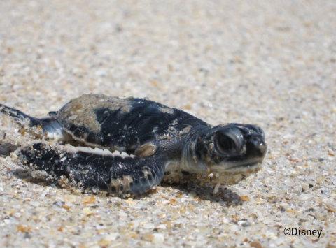 tour-de-turtles-disney-vero-beach-hatchling.jpg