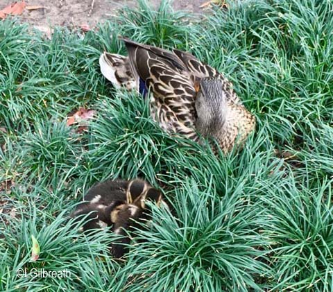 Disneyland ducklings