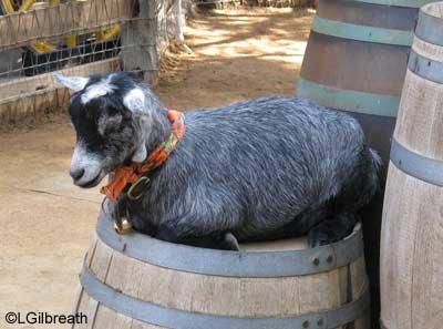 dht09_goat.jpg