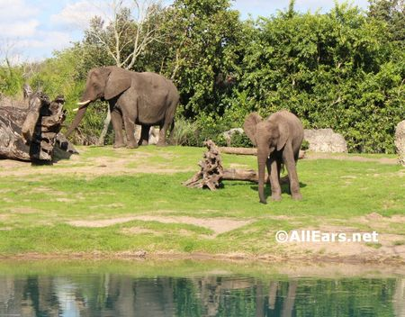 Elephants as seen riding Kilimanjaro Safari