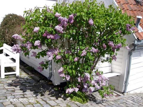 Lilacs Stavanger Norway
