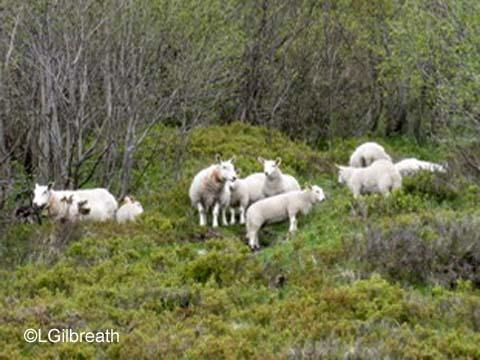 Geiranger sheep