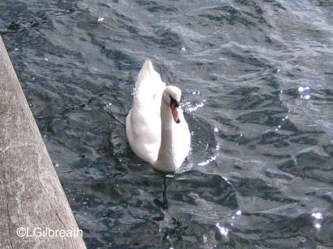 Copenhagen swan