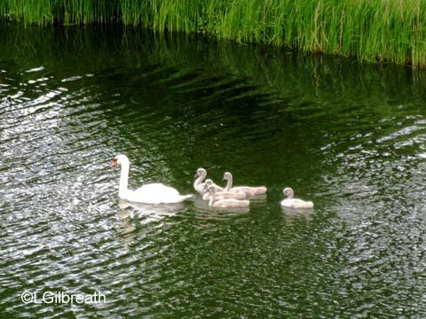 Copenhagen swans