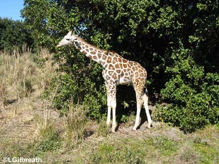 wdw0109babygiraffe.jpg