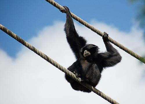 Chimpanzee at Disney's Animal Kingdom